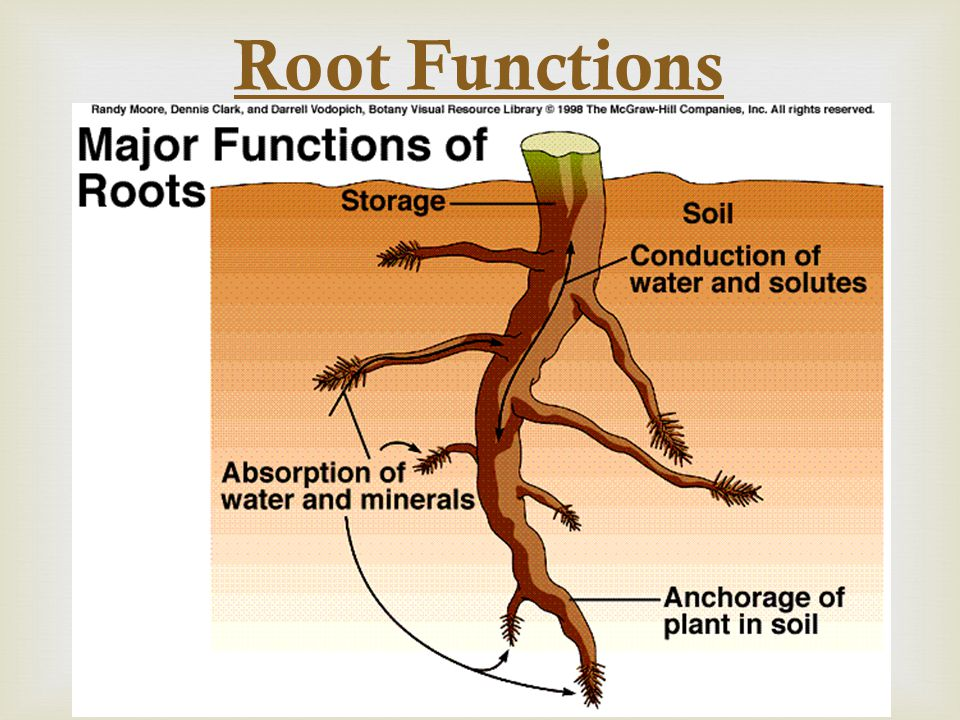 Root Development  Primary root develops from the embryo  1.