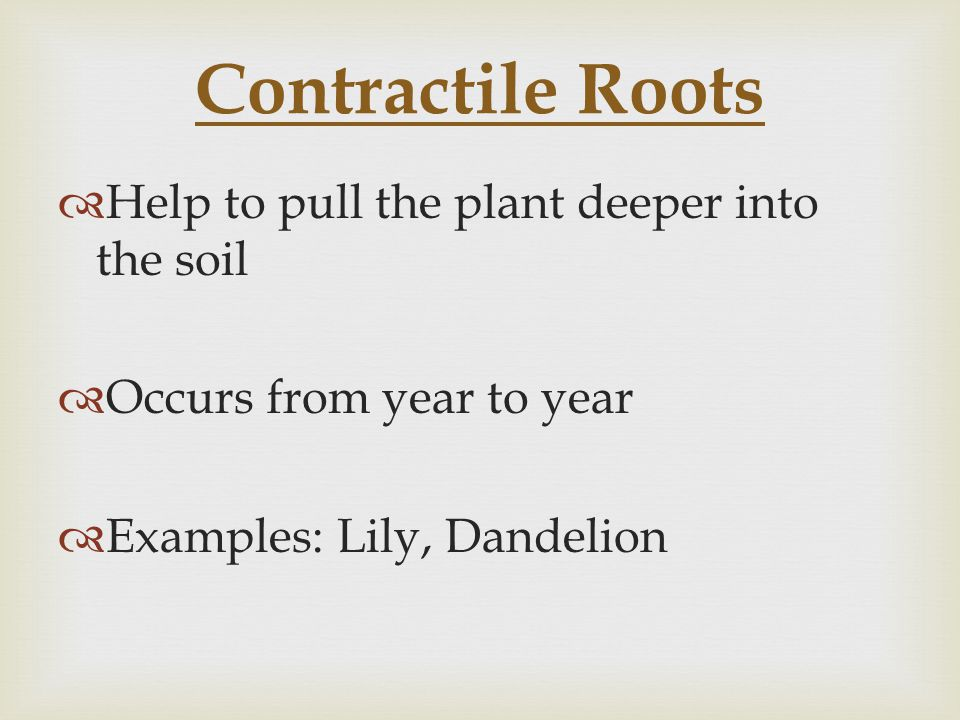 Contractile Roots  Help to pull the plant deeper into the soil  Occurs from year to year  Examples: Lily, Dandelion