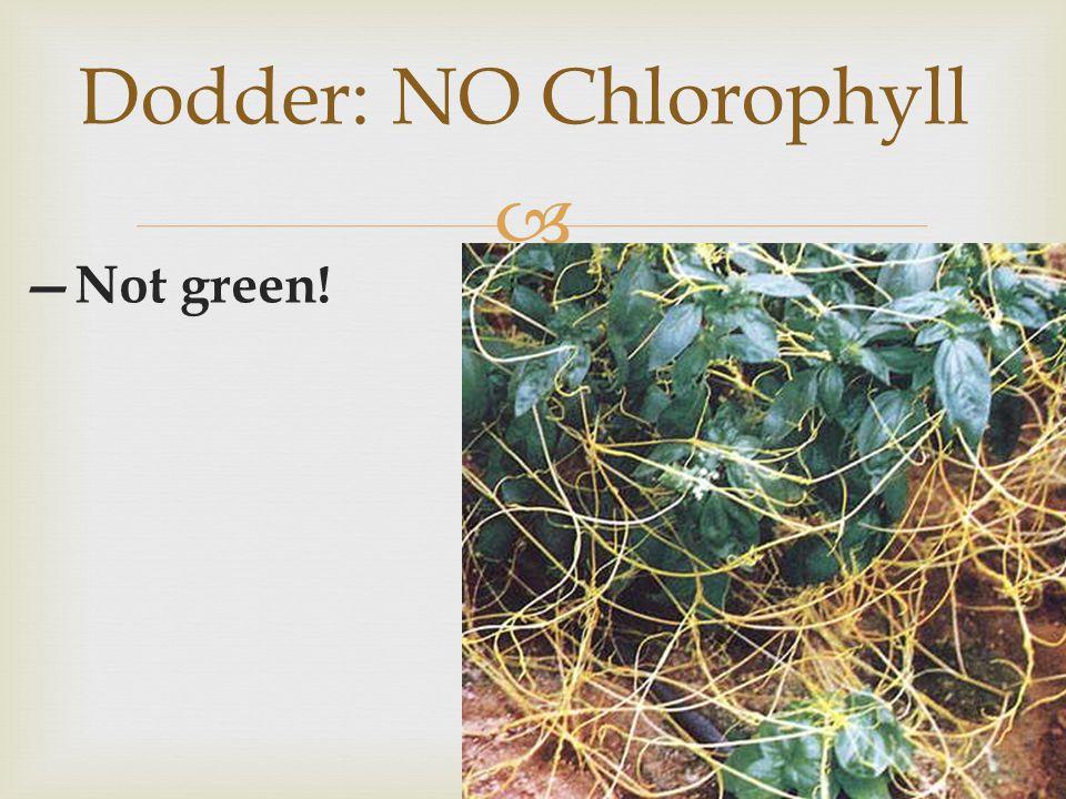  —Not green! Dodder: NO Chlorophyll