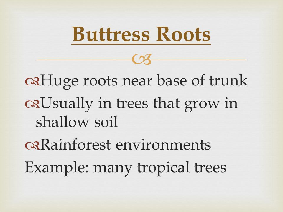   Huge roots near base of trunk  Usually in trees that grow in shallow soil  Rainforest environments Example: many tropical trees Buttress Roots