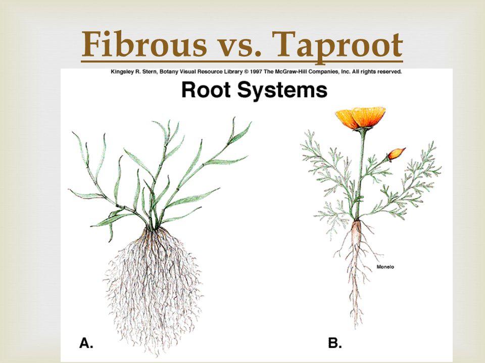  Fibrous vs. Taproot