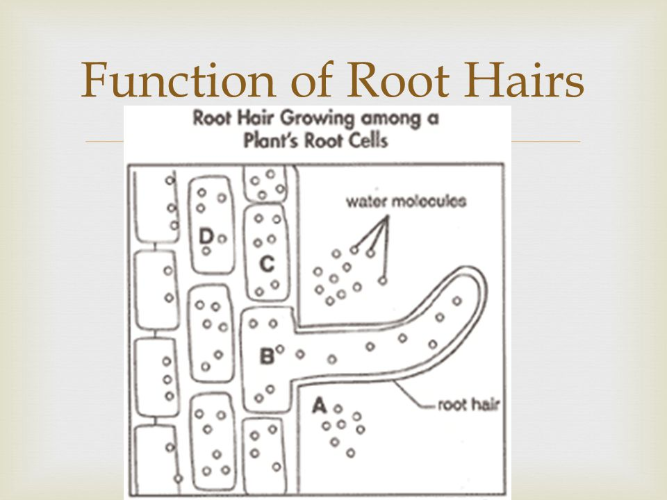 Contractile Roots  Help to pull the plant deeper into the soil  Occurs from year to year  Examples: Lily, Dandelion