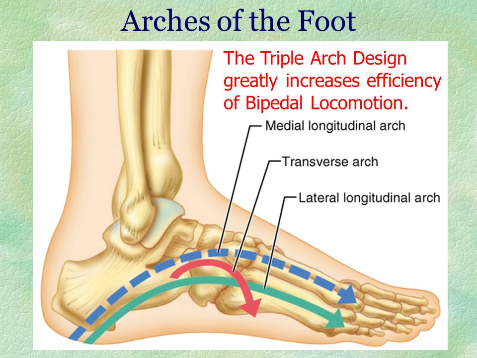 Arches of the Foot The Triple Arch Design greatly increases efficiency of Bipedal Locomotion.