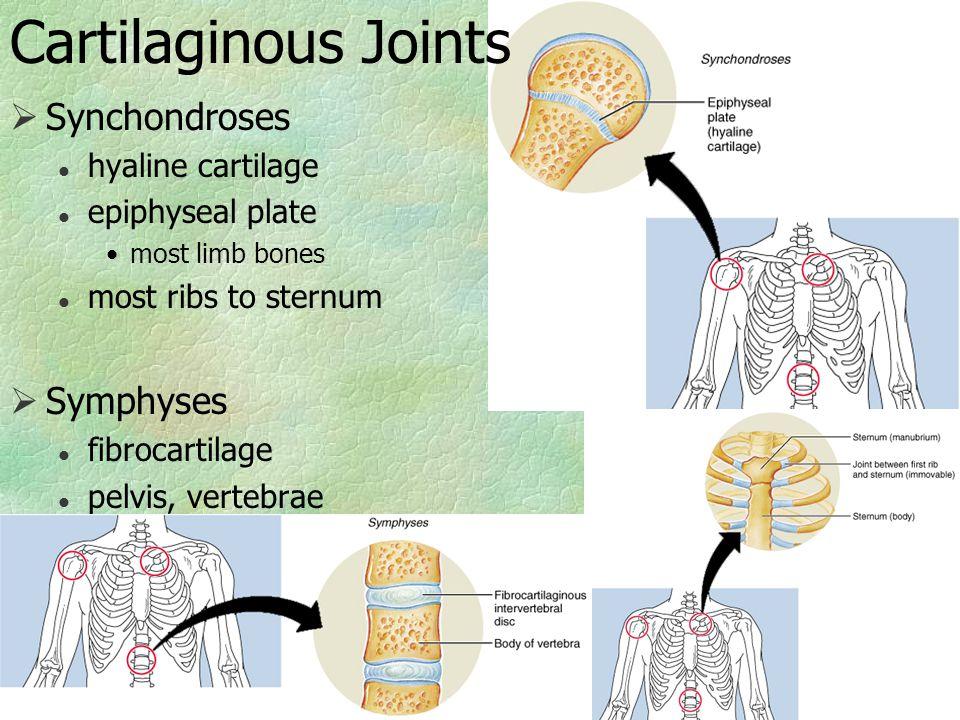 Cartilaginous Joints  Synchondroses l hyaline cartilage l epiphyseal plate most limb bones l most ribs to sternum  Symphyses l fibrocartilage l pelv
