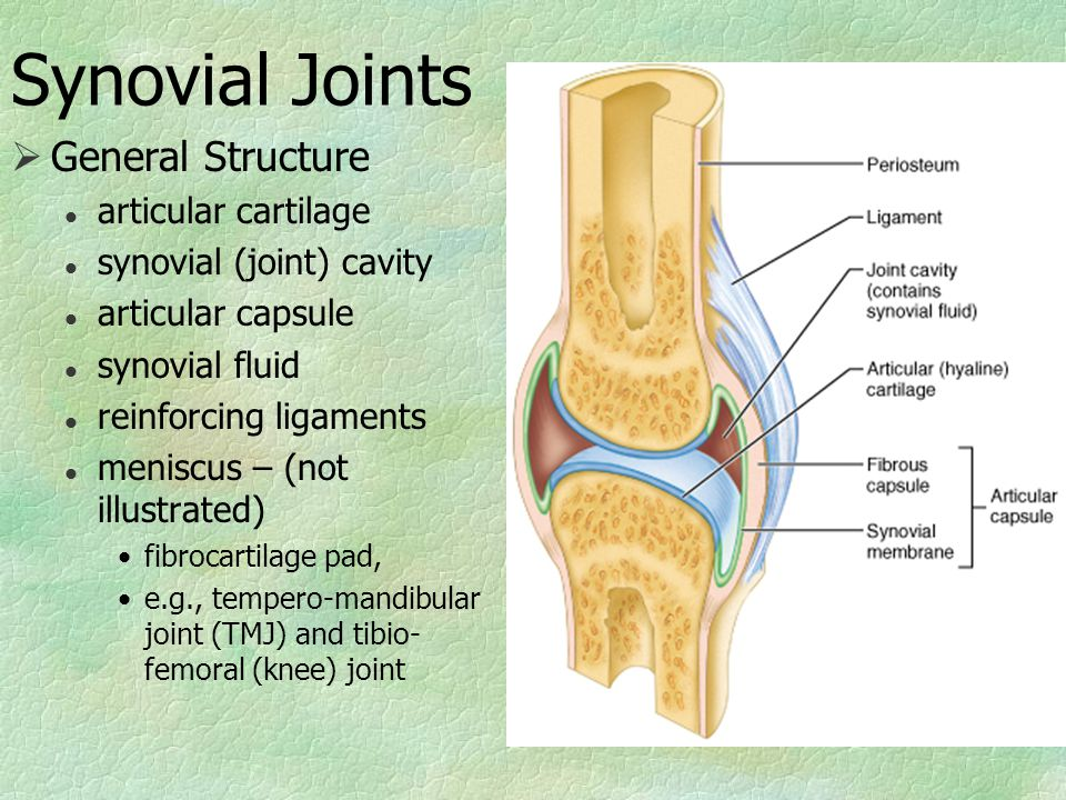 Synovial Joints  General Structure l articular cartilage l synovial (joint) cavity l articular capsule l synovial fluid l reinforcing ligaments l meniscus – (not illustrated) fibrocartilage pad, e.g., tempero-mandibular joint (TMJ) and tibio- femoral (knee) joint