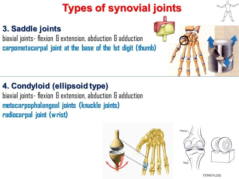 Types of synovial joints 3. Saddle joints biaxial joints- flexion & extension, abduction & adduction carpometacarpal joint at the base of the 1st digi