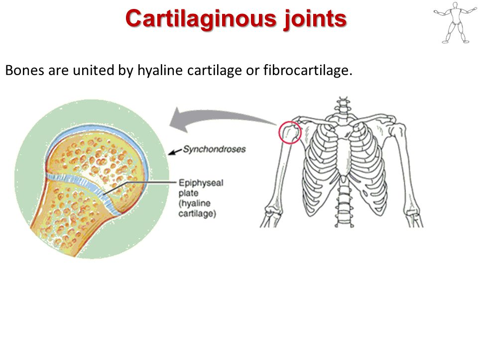 Cartilaginous joints Bones are united by hyaline cartilage or fibrocartilage.
