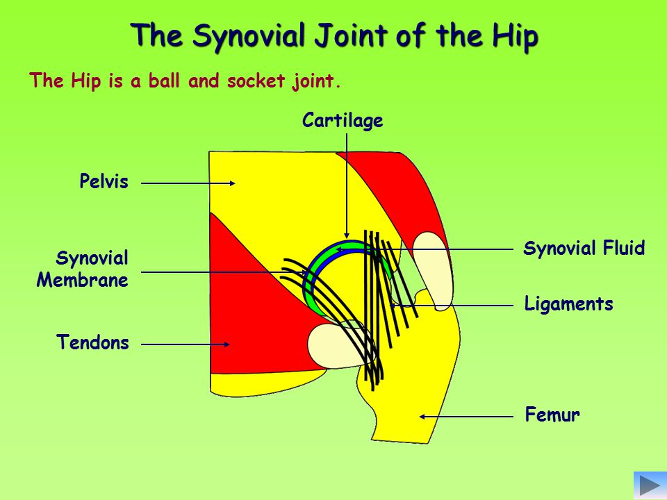 The Hip is a ball and socket joint. Ligaments Synovial Fluid Tendons Synovial Membrane Pelvis Cartilage Femur The Synovial Joint of the Hip