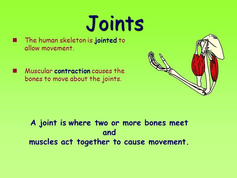 Joints The human skeleton is jointed to allow movement. Muscular contraction causes the bones to move about the joints. A joint is where two or more b