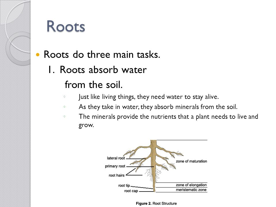 Roots Roots do three main tasks. 1. Roots absorb water from the soil. ◦ Just like living things, they need water to stay alive. ◦ As they take in wate