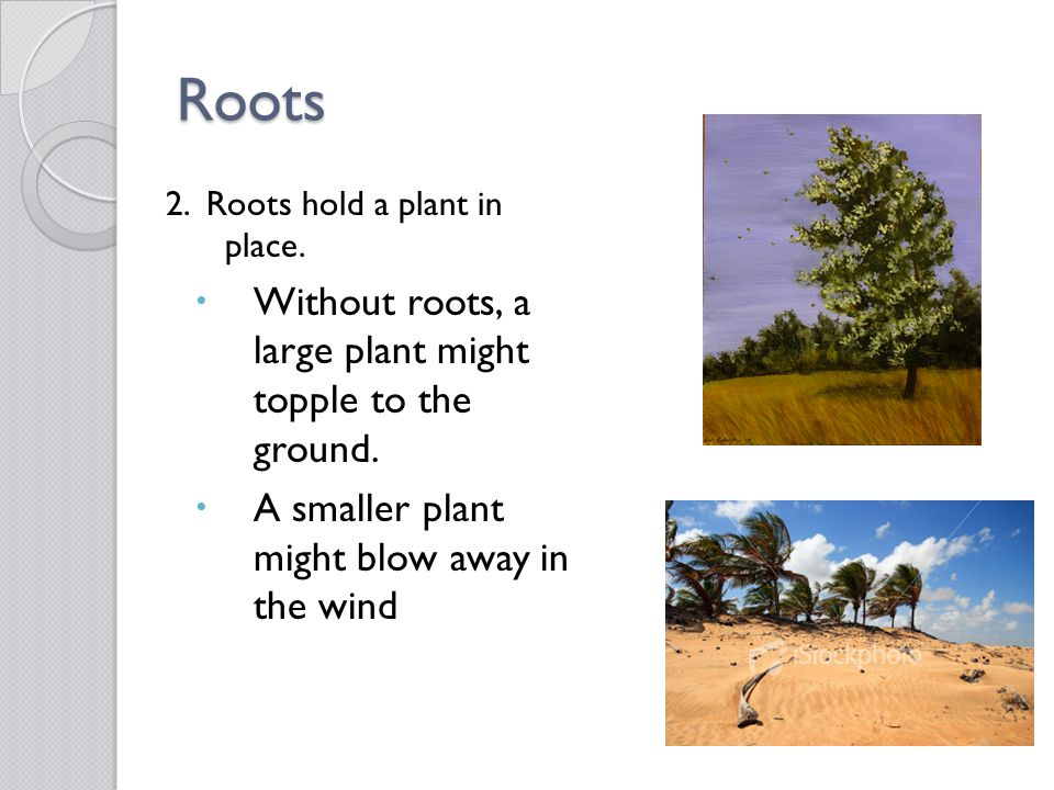 Roots 2. Roots hold a plant in place.  Without roots, a large plant might topple to the ground.  A smaller plant might blow away in the wind