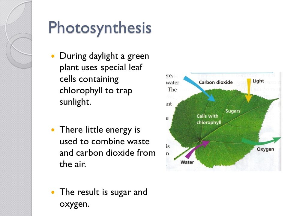 Photosynthesis During daylight a green plant uses special leaf cells containing chlorophyll to trap sunlight. There little energy is used to combine w