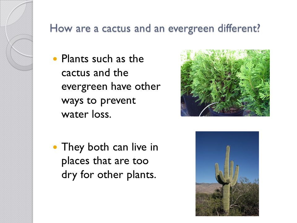 How are a cactus and an evergreen different? Plants such as the cactus and the evergreen have other ways to prevent water loss. They both can live in