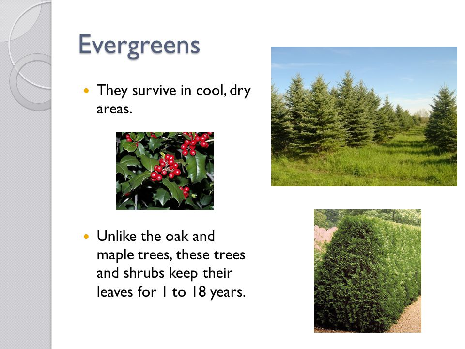 Evergreens They survive in cool, dry areas. Unlike the oak and maple trees, these trees and shrubs keep their leaves for 1 to 18 years.