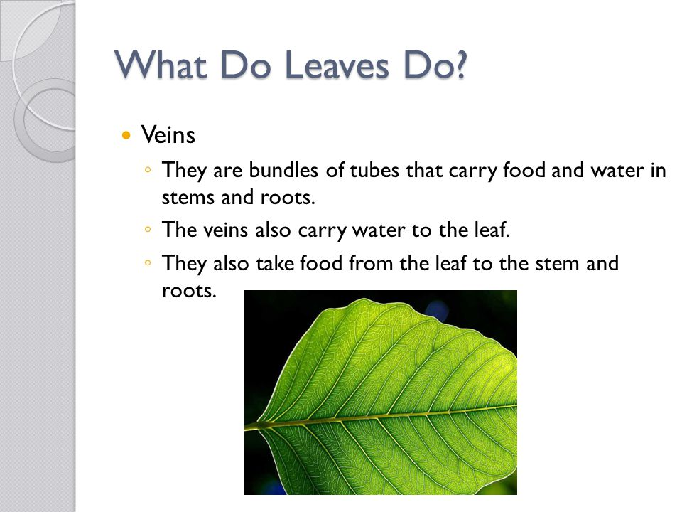 What Do Leaves Do.Epidermis ◦ A thin layer on the leaf's top and bottom.