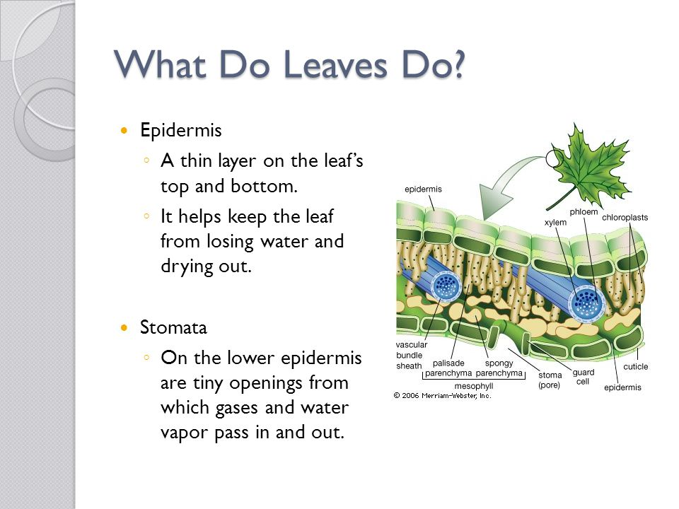 What Do Leaves Do? Epidermis ◦ A thin layer on the leaf's top and bottom. ◦ It helps keep the leaf from losing water and drying out. Stomata ◦ On the