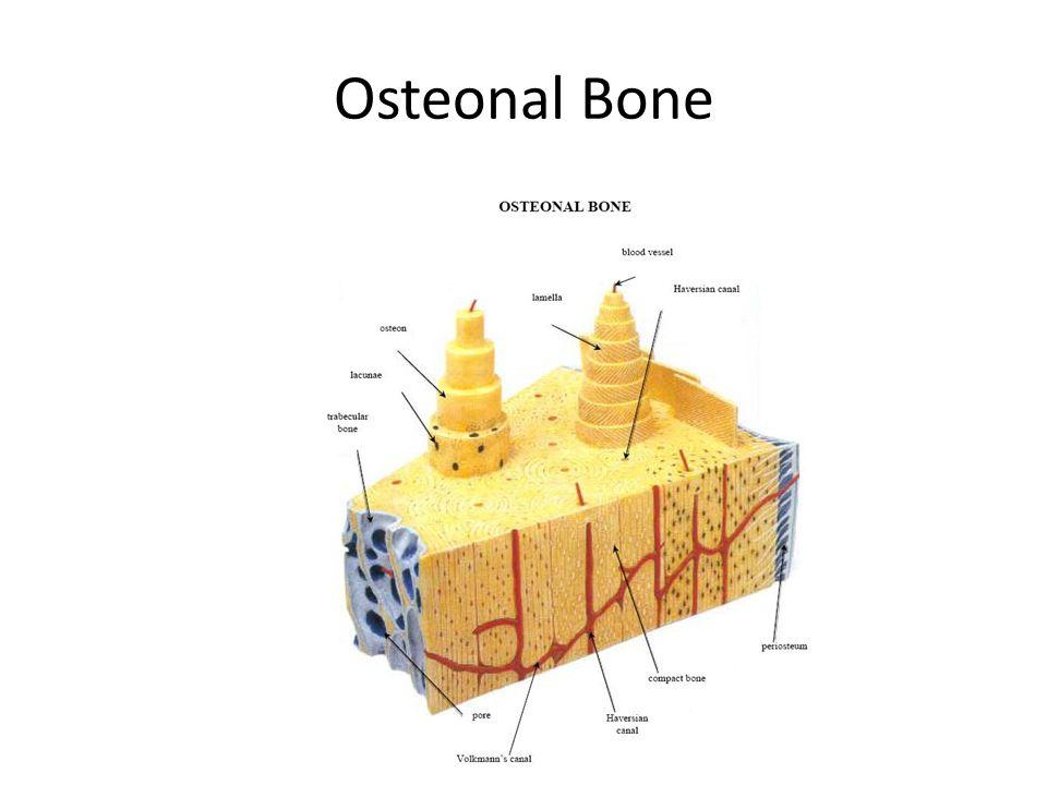 Osteonal Bone