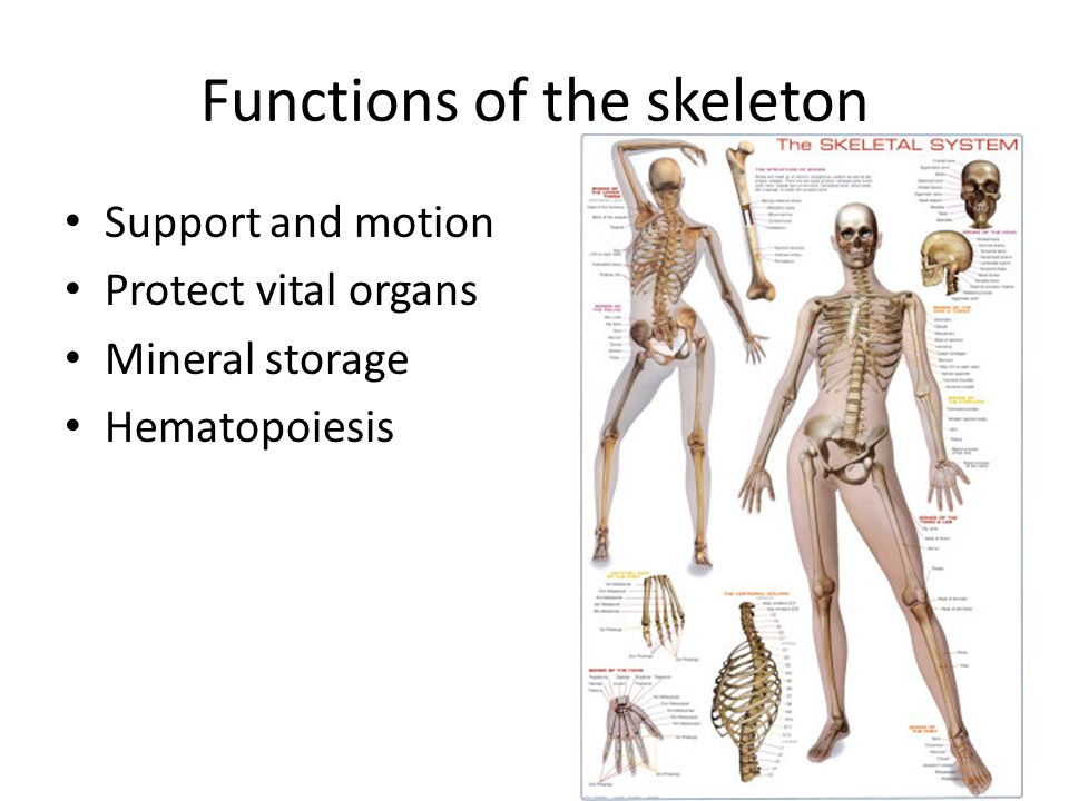 Functions of the skeleton Support and motion Protect vital organs Mineral storage Hematopoiesis