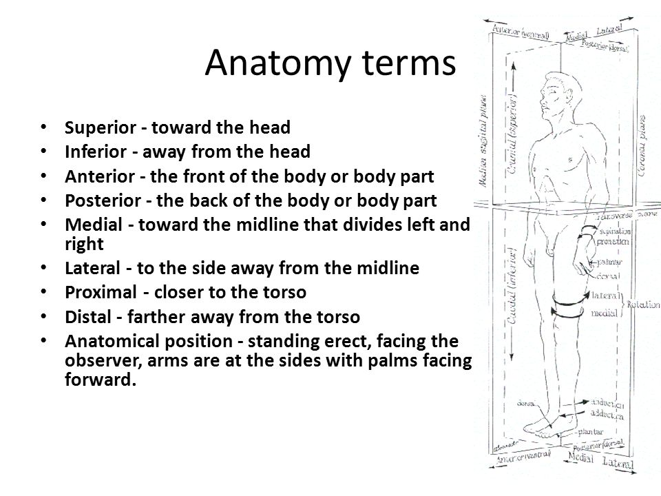 Anatomy terms Superior - toward the head Inferior - away from the head Anterior - the front of the body or body part Posterior - the back of the body or body part Medial - toward the midline that divides left and right Lateral - to the side away from the midline Proximal - closer to the torso Distal - farther away from the torso Anatomical position - standing erect, facing the observer, arms are at the sides with palms facing forward.