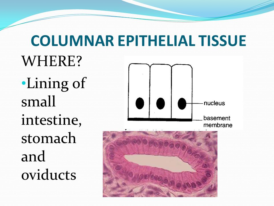 COLUMNAR EPITHELIAL TISSUE WHERE? Lining of small intestine, stomach and oviducts