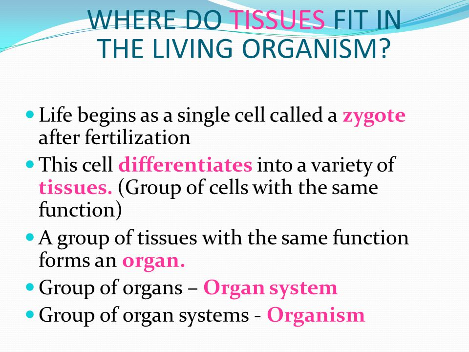 WHERE DO TISSUES FIT IN THE LIVING ORGANISM? Life begins as a single cell called a zygote after fertilization This cell differentiates into a variety