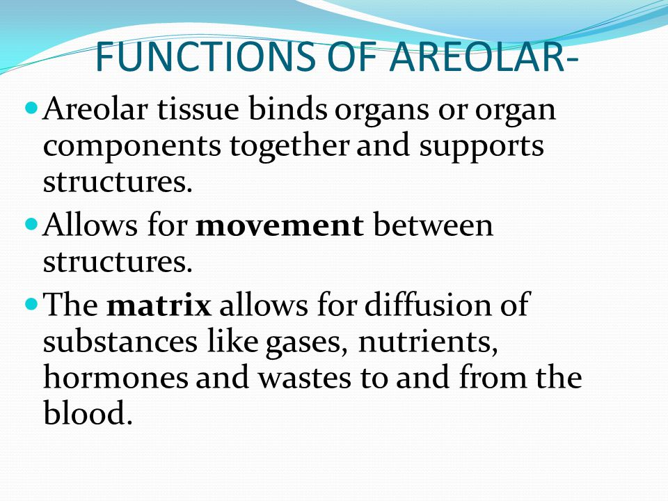 FUNCTIONS OF AREOLAR- Areolar tissue binds organs or organ components together and supports structures. Allows for movement between structures. The ma