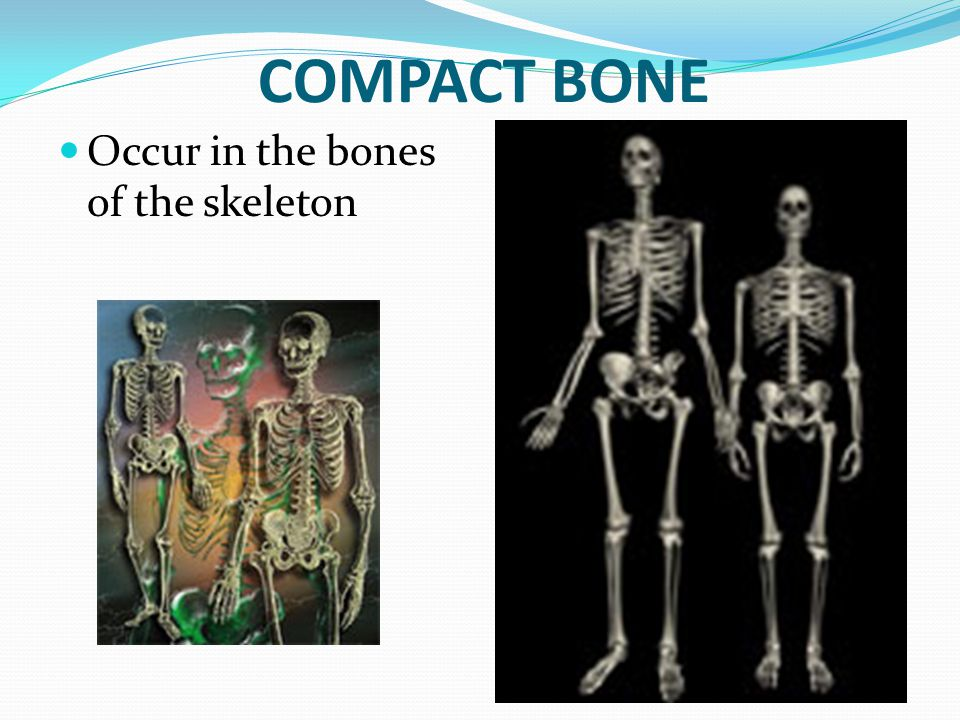 COMPACT BONE Occur in the bones of the skeleton