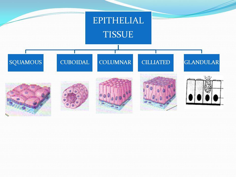 EPITHELIAL TISSUE SQUAMOUSCUBOIDALCOLUMNARCILLIATEDGLANDULAR