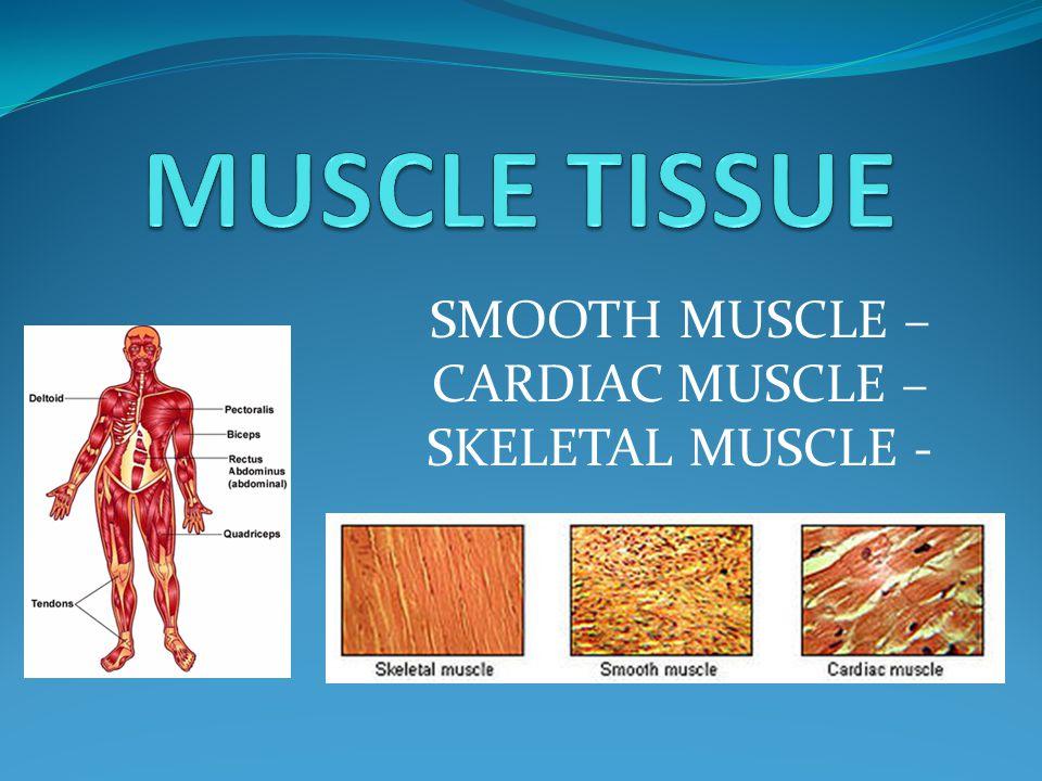 SMOOTH MUSCLE – CARDIAC MUSCLE – SKELETAL MUSCLE -