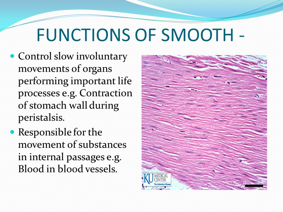 FUNCTIONS OF SMOOTH - Control slow involuntary movements of organs performing important life processes e.g. Contraction of stomach wall during perista