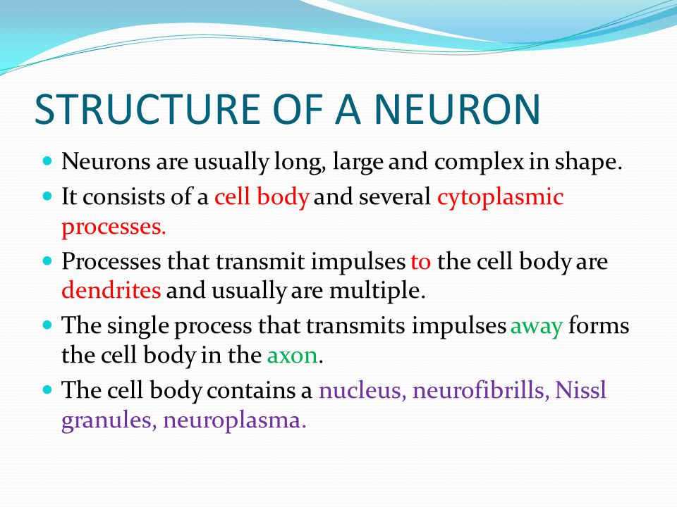 STRUCTURE OF A NEURON Neurons are usually long, large and complex in shape. It consists of a cell body and several cytoplasmic processes. Processes th