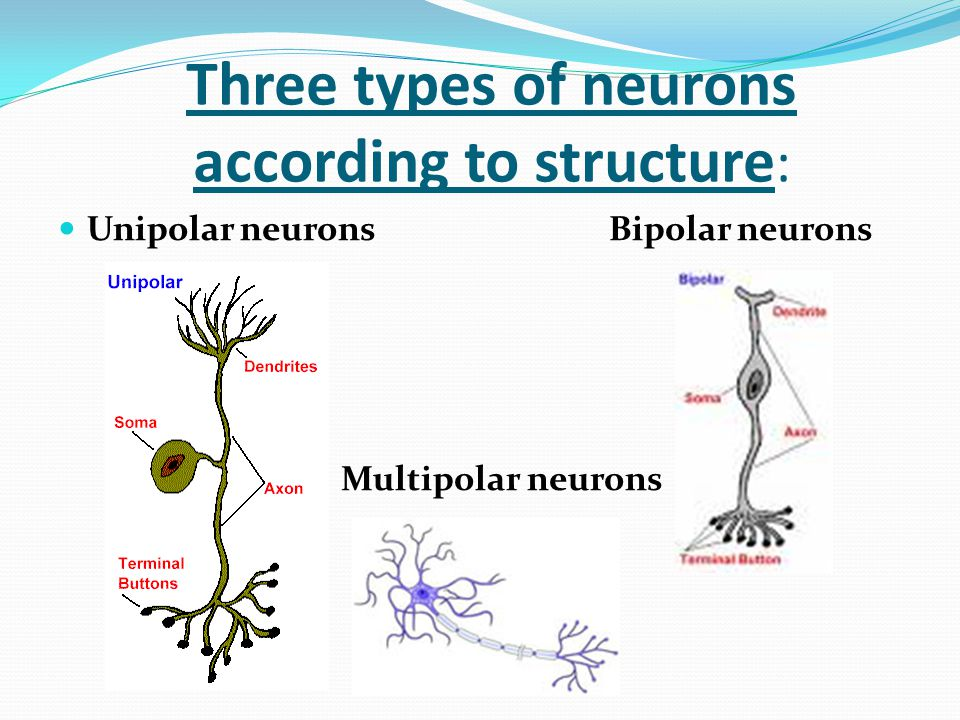 Three types of neurons according to structure : Unipolar neurons Bipolar neurons Multipolar neurons