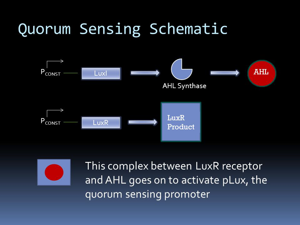 P CONST LuxI AHL Synthase P CONST LuxR This complex between LuxR receptor and AHL goes on to activate pLux, the quorum sensing promoter Quorum Sensing Schematic