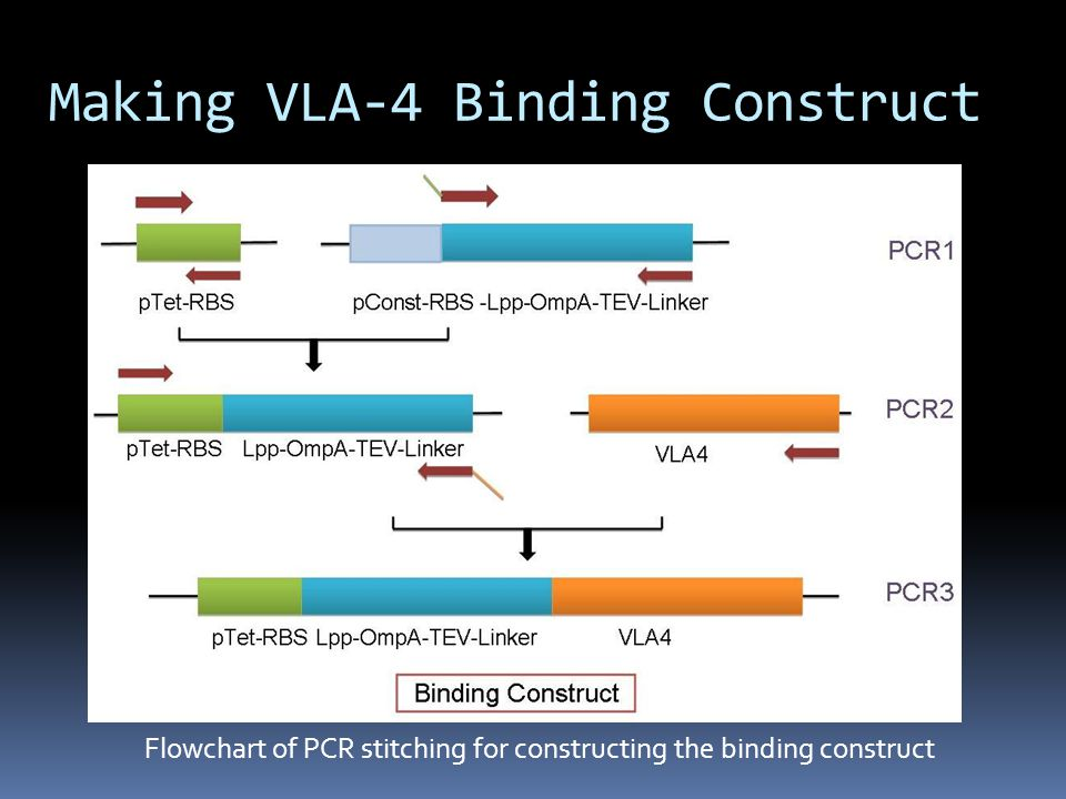 Flowchart of PCR stitching for constructing the binding construct Making VLA-4 Binding Construct