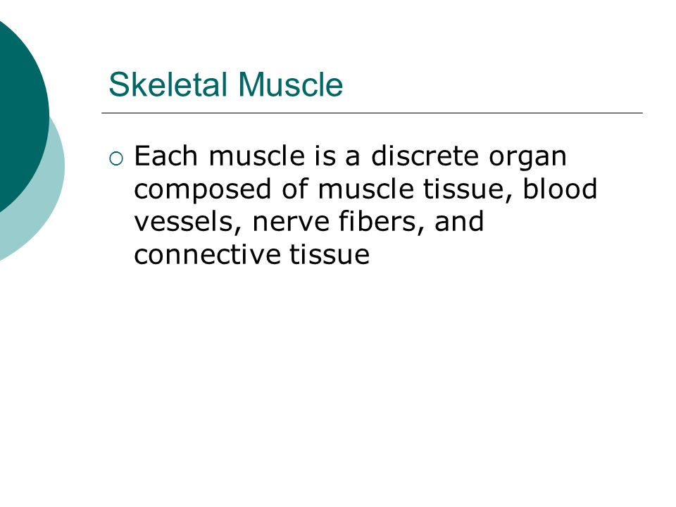 Skeletal Muscle  Each muscle is a discrete organ composed of muscle tissue, blood vessels, nerve fibers, and connective tissue