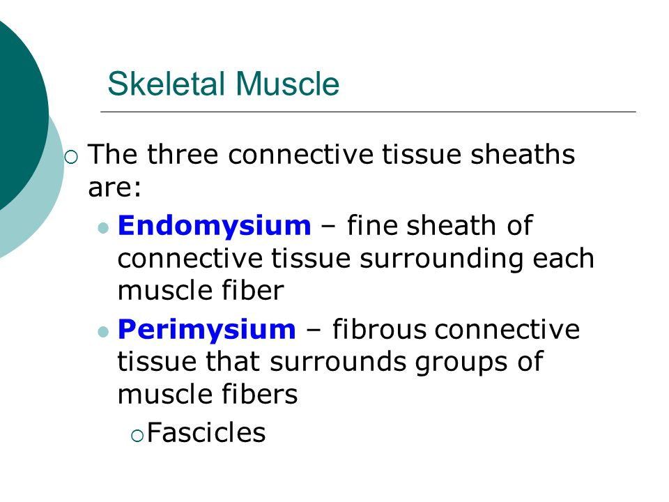 Skeletal Muscle  The three connective tissue sheaths are: Endomysium – fine sheath of connective tissue surrounding each muscle fiber Perimysium – fibrous connective tissue that surrounds groups of muscle fibers  Fascicles