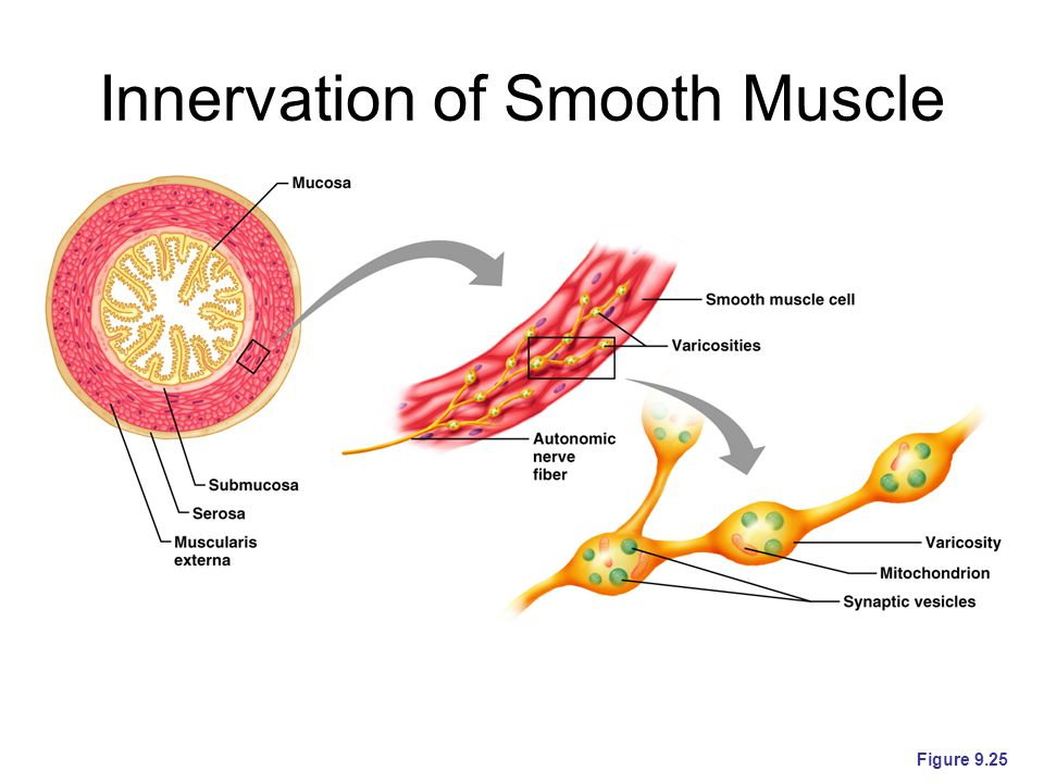 Innervation of Smooth Muscle Figure 9.25