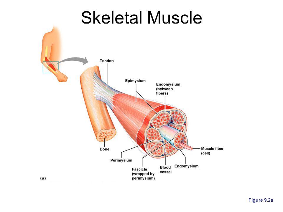 Skeletal Muscle Figure 9.2a