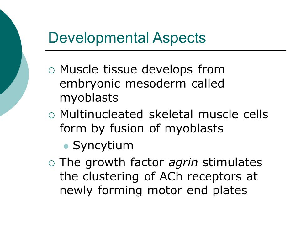 Developmental Aspects  Muscle tissue develops from embryonic mesoderm called myoblasts  Multinucleated skeletal muscle cells form by fusion of myoblasts Syncytium  The growth factor agrin stimulates the clustering of ACh receptors at newly forming motor end plates