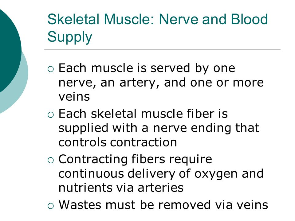 Skeletal Muscle: Nerve and Blood Supply  Each muscle is served by one nerve, an artery, and one or more veins  Each skeletal muscle fiber is supplied with a nerve ending that controls contraction  Contracting fibers require continuous delivery of oxygen and nutrients via arteries  Wastes must be removed via veins