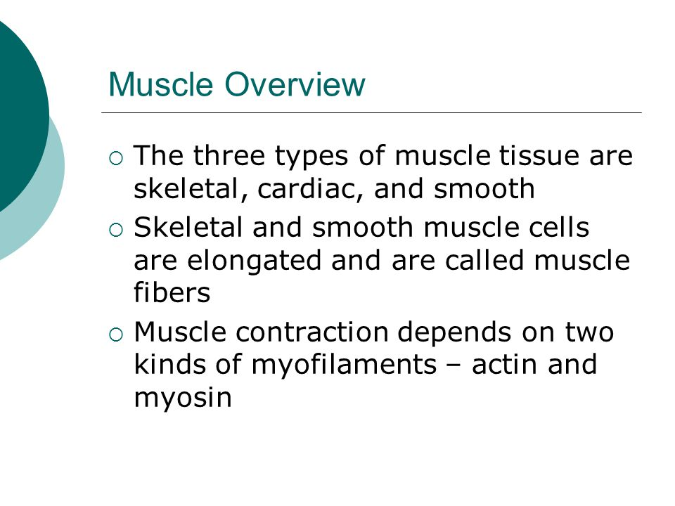 Muscle Overview  The three types of muscle tissue are skeletal, cardiac, and smooth  Skeletal and smooth muscle cells are elongated and are called muscle fibers  Muscle contraction depends on two kinds of myofilaments – actin and myosin