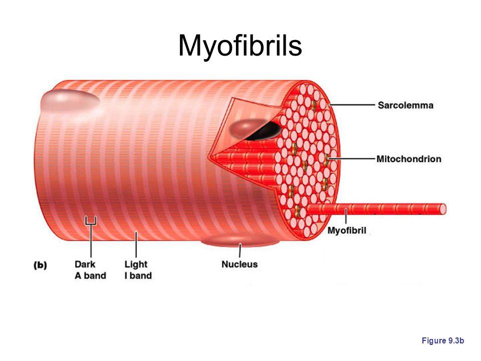 Myofibrils Figure 9.3b