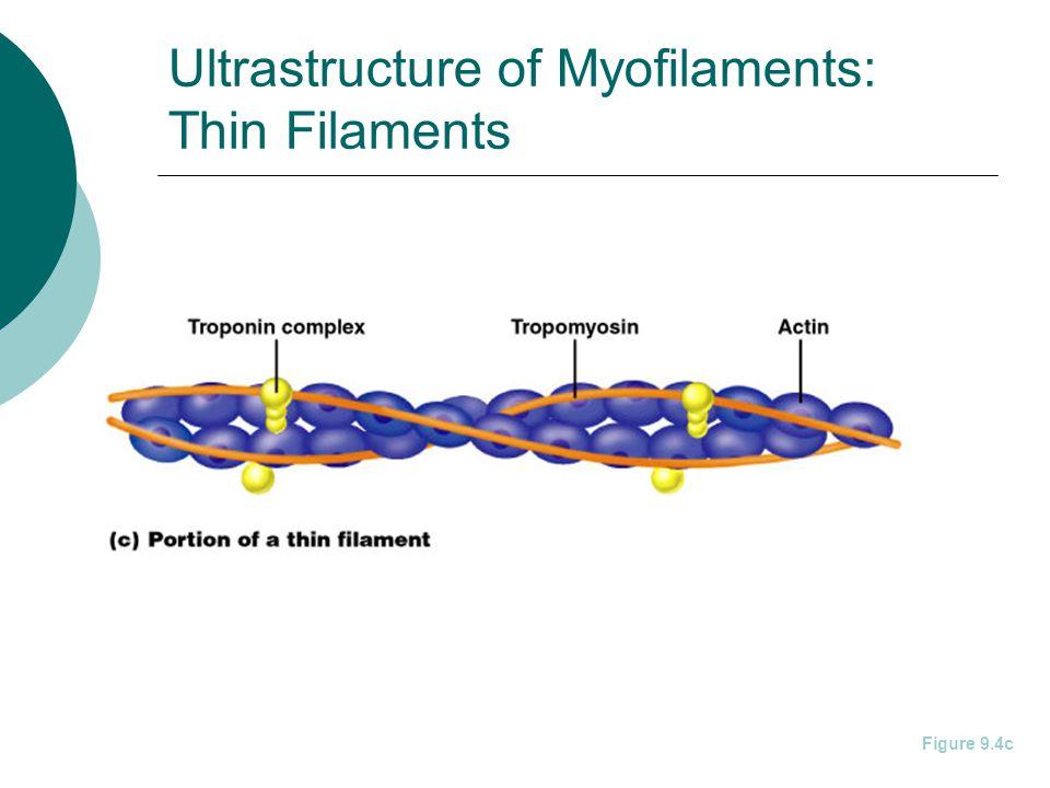 Ultrastructure of Myofilaments: Thin Filaments Figure 9.4c