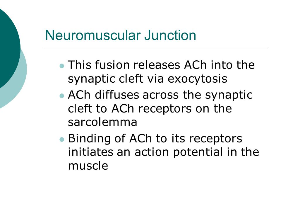 Neuromuscular Junction This fusion releases ACh into the synaptic cleft via exocytosis ACh diffuses across the synaptic cleft to ACh receptors on the sarcolemma Binding of ACh to its receptors initiates an action potential in the muscle