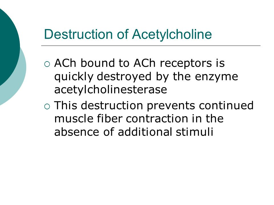 Destruction of Acetylcholine  ACh bound to ACh receptors is quickly destroyed by the enzyme acetylcholinesterase  This destruction prevents continued muscle fiber contraction in the absence of additional stimuli