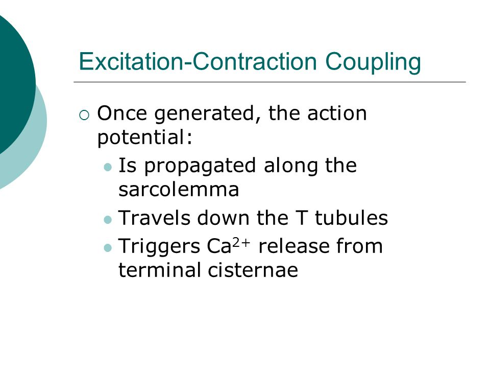 Excitation-Contraction Coupling  Once generated, the action potential: Is propagated along the sarcolemma Travels down the T tubules Triggers Ca 2+ release from terminal cisternae