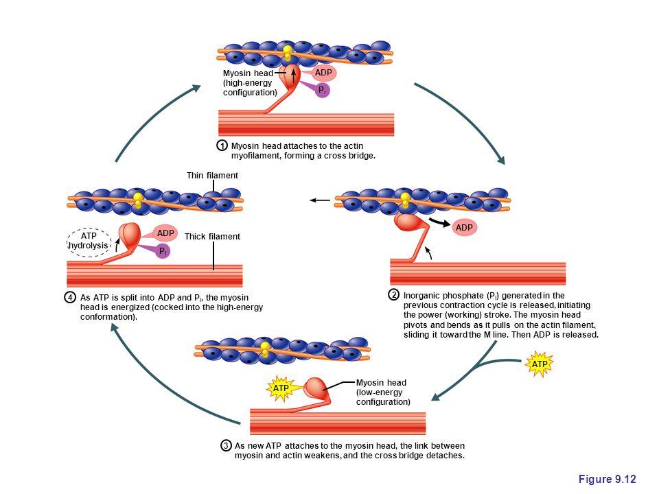 Figure 9.12 ATP ADP ATP hydrolysis ADP ATP PiPi PiPi Myosin head (high-energy configuration) Myosin head attaches to the actin myofilament, forming a cross bridge.