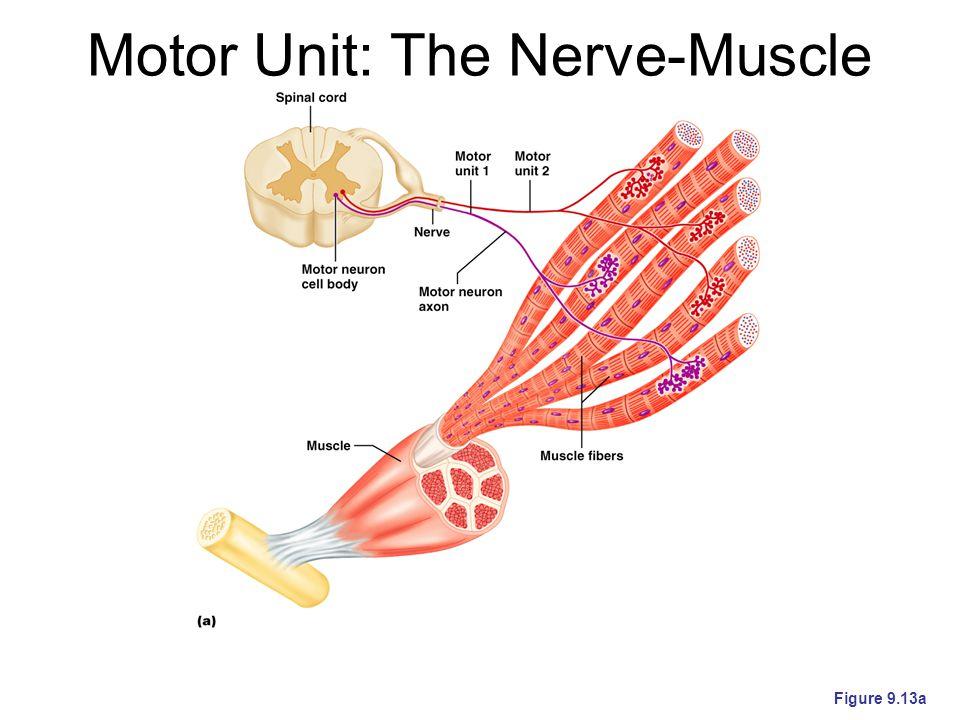 Motor Unit: The Nerve-Muscle Functional Unit Figure 9.13a