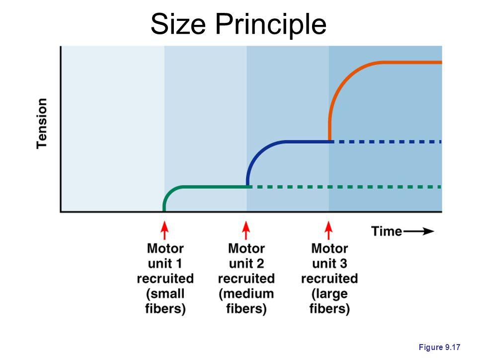 Size Principle Figure 9.17