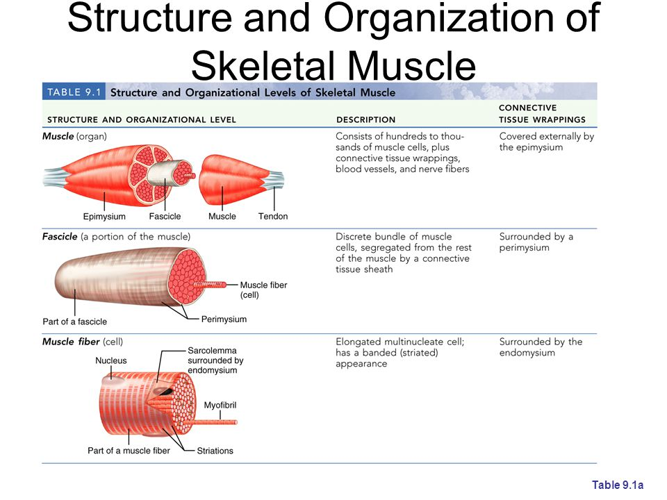Structure and Organization of Skeletal Muscle Table 9.1a